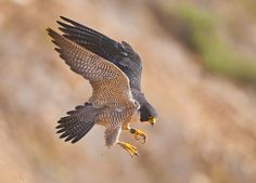 Peregrine falcon (view larger)