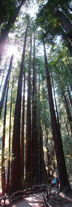 Gentle Giants. Red Woods in Muir Woods