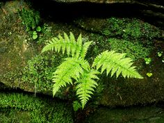 Ferns on a moss covered rock