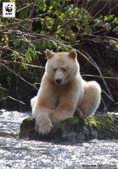 The Kermode Bear, or Spirit Bear is unique to the Great Bear region