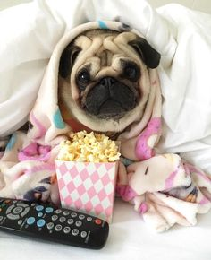 """Check out our website for additional information on """"fawn pugs"""". It is actually a great place for more information. Cute Funny Animals, Cute Baby Animals, Funny Dogs, Animals And Pets, Pug Puppies, Cute Dogs And Puppies, Chihuahua, Pet Puppy, Pugs And Kisses"""