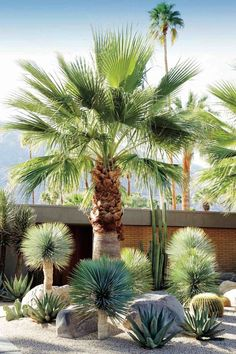 A dry garden in California's Coachella Valley, designed by Marcello Villano, pairs fan palm and golden barrel cactus with varieties of yucca and aloe. See more in Required Reading: Succulents, The Ultimate Guide. Photograph courtesy of Succulents. Succulent Landscaping, Tropical Landscaping, Tropical Garden, Front Yard Landscaping, Backyard Landscaping, Landscaping Ideas, Landscaping Software, Palm Trees Garden, Palm Trees Landscaping