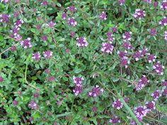 Zioła-Macierzanka Thymus Serpyllum, Mother Nature, Natural Remedies, Spices, Herbs, Plants, Beauty, Gardening, Magic