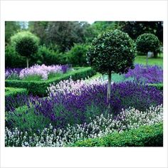 Topiary Ilex - Holly standards in hedged lavender beds - GAP Photos - Specialising in horticultural photography - Taken by Leigh Clapp Evergreen Garden, Garden Trees, Garden Plants, Back Gardens, Small Gardens, Outdoor Gardens, Back Garden Design, Vegetable Garden Design, Backyard Ideas For Small Yards