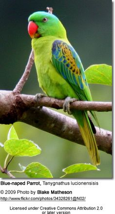 Blue-naped Parrot, endemic to Philippines