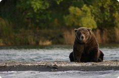 Katmai National Park & King Salmon, una delle zone del mondo piu' ricche di orsi bruni