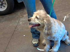 This DOG - ID#A3477844  I am a female, tan and white Cocker Spaniel mix.  The shelter staff think I am about 15 years old.  I have been at the shelter since Jun 27, 2014.  This information was refreshed 29 minutes ago and may not represent all of the animals at the Maricopa County Animal Care & Control - East Valley Animal Care Center.