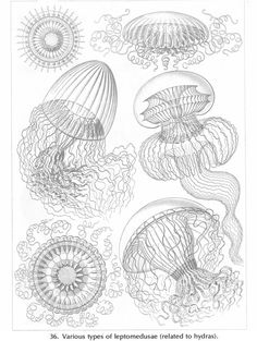 Dover Jellyfish [ Fulbright Exploring Creation with Zoology 2: Swimming Creatures, Lesson 12]