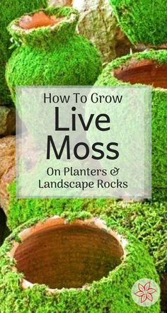How To Grow Moss On Planters And Landscape Rocks - - See how to grow moss on pots, rocks, and allot more in your yard and landscape. Container Water Gardens, Container Gardening, Gardening Tips, Vegetable Gardening, Landscaping With Rocks, Backyard Landscaping, Landscaping Design, Modern Landscaping, Backyard Ideas