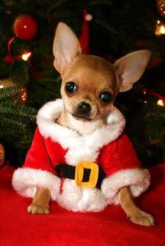 Chihuahua Santa