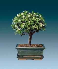 Bonsai 'Serissa Foetida' Bonsai #bonsai, #hobbies, https://apps.facebook.com/yangutu