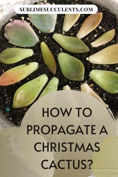 Do you know how to propagate a Christmas cactus and take care of it? Christmas cacti is a popular choice among plant lovers because they are low-maintenance and promise beautiful blooms around the time of their namesake holiday. This is easy to care for plant that's great for beginners. They are also incredibly easy to propagate. Check this pin for more details! #Christmascactus #cactus #cactuspropagation Cactus Seeds, Succulent Seeds, Succulent Care, Cactus Plants, Flowering Succulents, Indoor Succulents, Succulents Garden, Succulent Species, Mother Plant