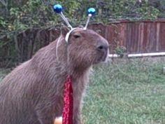 Caplin Rous in The Alien Capybara
