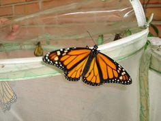 Monarchs #4 Fly away!