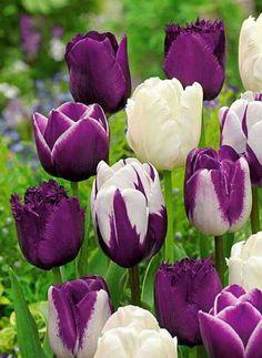 resim gösterilmiyor - #gosterilmiyor #resim Purple Tulips, Tulips Flowers, Flowers Nature, Exotic Flowers, Amazing Flowers, Spring Flowers, Beautiful Flowers, White Tulips, Purple Rain