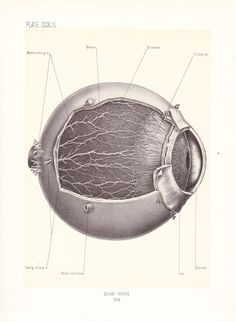 vintage anatomy illustration, ciliary nerves of the eye, from a medical book published in three volumes between 1899-1902