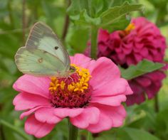A very common butterfly, on a pink Zinnia!