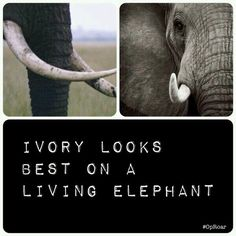 China close your carving factories Save The Rhino, Ivory Trade, Elephant Love, Gentle Giant, Factories, Wild Life, Elephants, Mammals, Laughter
