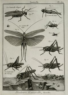 1789 antique imprimé des sauterelles, des espèces différentes. Insectes. Entomologie. Gravure de Panckoucke Encyclopédie Méthodique. 226 ans