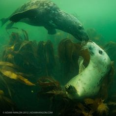 Underwater Photography by Adam Hanlon - Two grey seals (Halichoerus grypus) frolic amongst the kelp beds of the Farne Islands, Northumberland, UK.