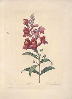 gravures de fleurs par Redoute - Gravures de fleurs par Redoute 037 muflier a…