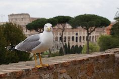 Конкурент котам в охране Колизея...