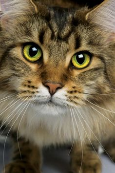The Maine Coon is one of the most loyal, personable, and lovable cat breeds around.