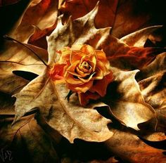 Nature at its Best - Flower Pictures and Photography Tips. some of the most beautiful flower photos online Autumn Rose, Autumn Art, Autumn Leaves, Autumn Harvest, Autumn Style, Warm Autumn, Tarot, Animation, Flower Pictures