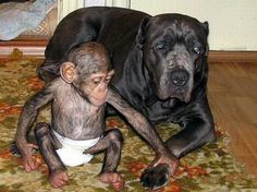 dog adopts orphan chimp: Just one part of a big, happy family
