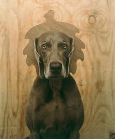 by William Wegman - Weimaraners can be so patient when they want to.