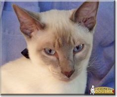 Read Dousha the Siamese cat's story from Toronto, Ontario, Canada and see his photos at Cat of the Day http://CatoftheDay.com/archive/2013/July/20.html .