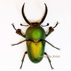 Real Green Stag Beetle Lamprima Adolphinae Framed In Shadowbox by ButterfliesArtist on Etsy