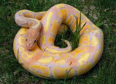 """Coral Glow Enchi Ball Python Like"""" in FB! www.facebook.com/kingsreptiles619"""