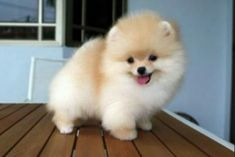 Marvelous Pomeranian Does Your Dog Measure Up and Does It Matter Characteristics. All About Pomeranian Does Your Dog Measure Up and Does It Matter Characteristics. Cute Puppies, Cute Dogs, Dogs And Puppies, Animals And Pets, Baby Animals, Cute Animals, Spitz Pomeranian, Micro Teacup Pomeranian, Pomeranians