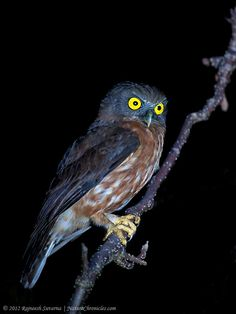 Andaman Hawk Owl  .... The Andaman Hawk Owl is a small to medium-sized brown owl with a rounded head and no ear-tufts.  Andaman Islands.
