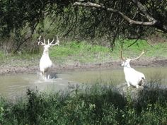 Check out these amazing photographs of two big albino bull elk.