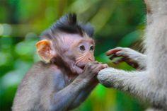 Bali, Indonésie - En plein coeur de la Forêt Sacrée des Singes de Bali… Vidéo à voir ici : http://vetcaetera.com/2013/07/24/en-plein-coeur-de-la-foret-sacree-des-singes-de-bali/