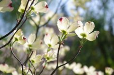 Dogwood blooms remind me of my brother, Dan. He thought they were beautiful!!