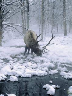 reindeer or elk in the snow