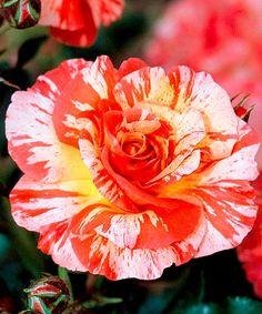 Do voňavých kytic!Růže ´Alfred Sisley´ - voňavá. Rosa. Růže malířů. Oranžové a červené plameny na žlutém podkladu. Nadmíru kontrastní hra barev. Lehce voňavá a velmi bohatě kvetoucí. Výška: asi 80 cm.