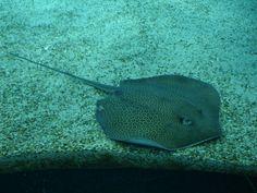Ein Rochen in der Nahaufnahme! Bilder Fische Oceanário de Lisboa