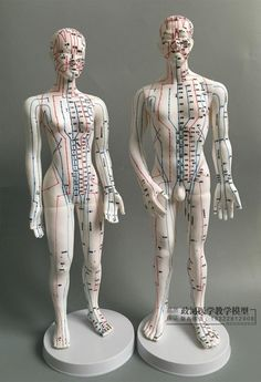 Acupuncture Points Chart, Meridian Acupuncture, Meridian Massage, Blood Type Chart, Human Muscle Anatomy, Human Body Model, Meridian Points, Anatomy Models, Acupressure
