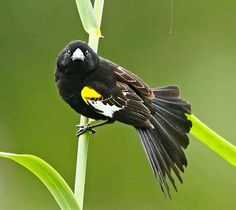 White winged widow bird