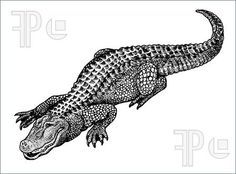 illustration of black and white alligator drawing
