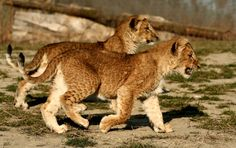 Photo by Michal Prasek Big Cats, Mammals, Lions, Panther, Wildlife, Lion, Black Panthers