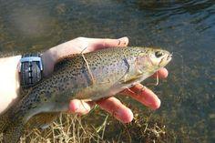 Sabie river wild trout.  Caught with a pink collard ptn jig.
