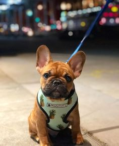 The major breeds of bulldogs are English bulldog, American bulldog, and French bulldog. The bulldog has a broad shoulder which matches with the head. French Bulldog Facts, French Bulldog Blue, French Bulldog Puppies, French Bulldogs, Frenchie Puppies, French Bulldog Harness, Cute Puppies, Cute Dogs, Wallpaper English