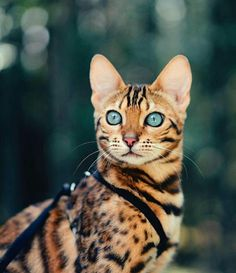 Que belleza - Savannah Cat - Ideas of Savannah Cat - Que belleza Savannah Cat Ideas of Savannah Cat Que belleza The post Que belleza appeared first on Cat Gig. The post Que belleza appeared first on Cat Gig. Pretty Cats, Beautiful Cats, Animals Beautiful, Cute Animals, Gorgeous Eyes, Animals Images, I Love Cats, Crazy Cats, Cool Cats
