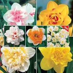 Deluxe Double Daffodil Collection. Around exterior of garden