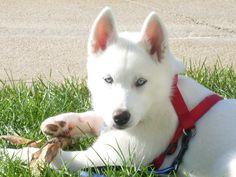 Just like my Tosh Wolf Husky, My Husky, Husky Puppy, Most Beautiful Dogs, Animals Beautiful, Cute Animals, White Siberian Husky, Siberian Huskies, Lovely Creatures